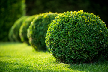 Shrubs and bushes for sale