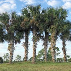 Tree planting and tall palm trees for sale in Northwest Florida.
