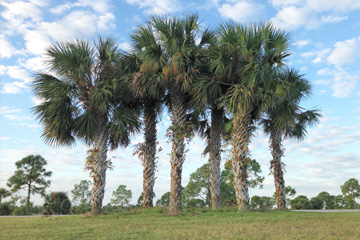 Tall palm trees for sale in Northwest Florida.