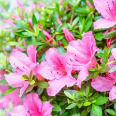 Find azaleas flowers for sale in Panama City Beach, FL.