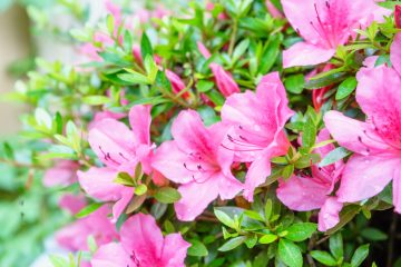Azaleas flowers wet in the rain