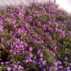 Find ground cover plants for sale in PCB, Florida.